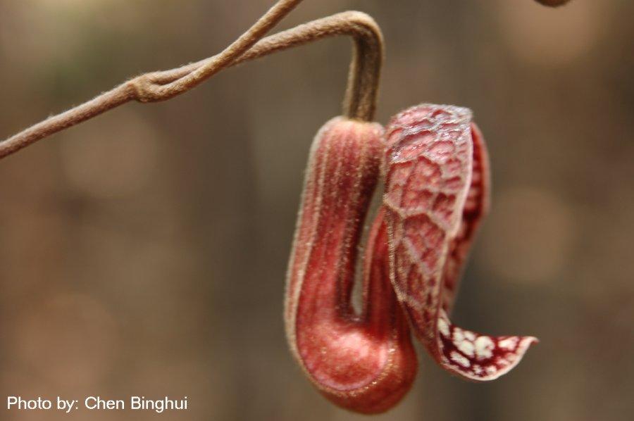 Aristolochia fangchi