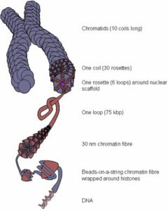 Kromatinstruktur