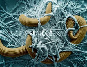 Arthrobotrys oliospora