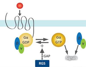 Denne tegningen viser hvordan RGS-enheten fungerer som vippebryter mellom fritt G-protein og bundet G-protein. Denne vekslingen inngår i en signalsekvens innover i cellen.
